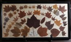 矢野さん手作りの葉の標本
